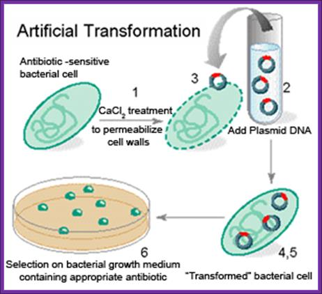 a research on the occurrence of genetic transformation in bacteria ecoli A genetic transformation procedure on e coli bacteria this plate will have e coli bacteria on lb agar to which pglo transformation lab ap lab 7.