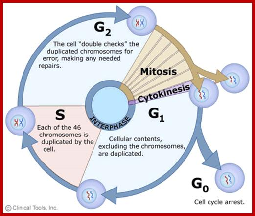 Plant cell division the duration of mitosis in relation to the other phases has been exaggerated in this diagram ccuart Image collections
