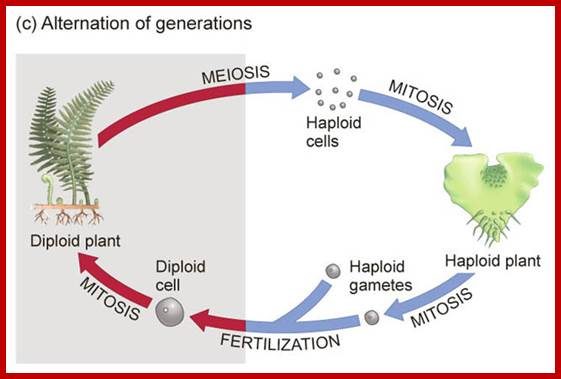 Plant cell division meiosis ccuart Images