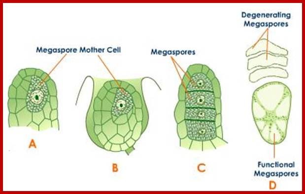 Plant cell division ccuart Images