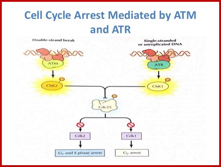 cell cycle research papers Research paper brca1 may modulate neuronal cell cycle re-entry in alzheimer disease teresa a evans1 dence of cell cycle dysfunction and the oxidative dna.