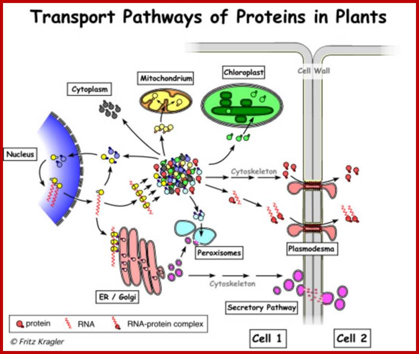 regulatory roles of cellular proteins 09102018 proteins are large, complex molecules that play many critical roles in the body they do most of the work in cells and are required for the structure.