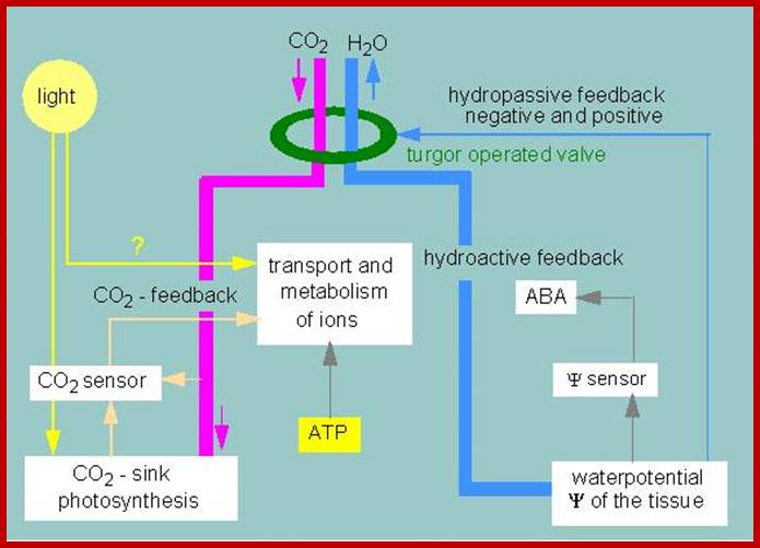 Loss of Water –Transpiration