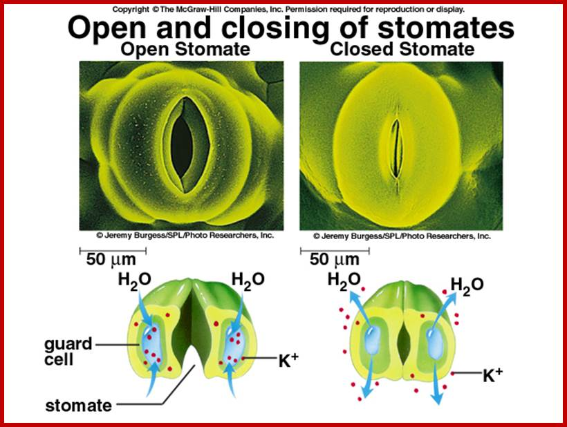 Open Stomata Transpiration in Plants - Bing images