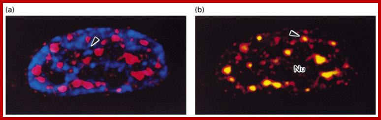 What happens in the nucleolus?