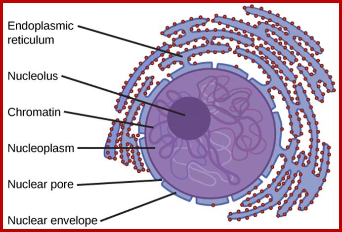 The nucleus the outermost boundary of the nucleus is the nuclear envelope notice that the nuclear envelope consists of two phospholipid bilayers membranesan outer ccuart Gallery