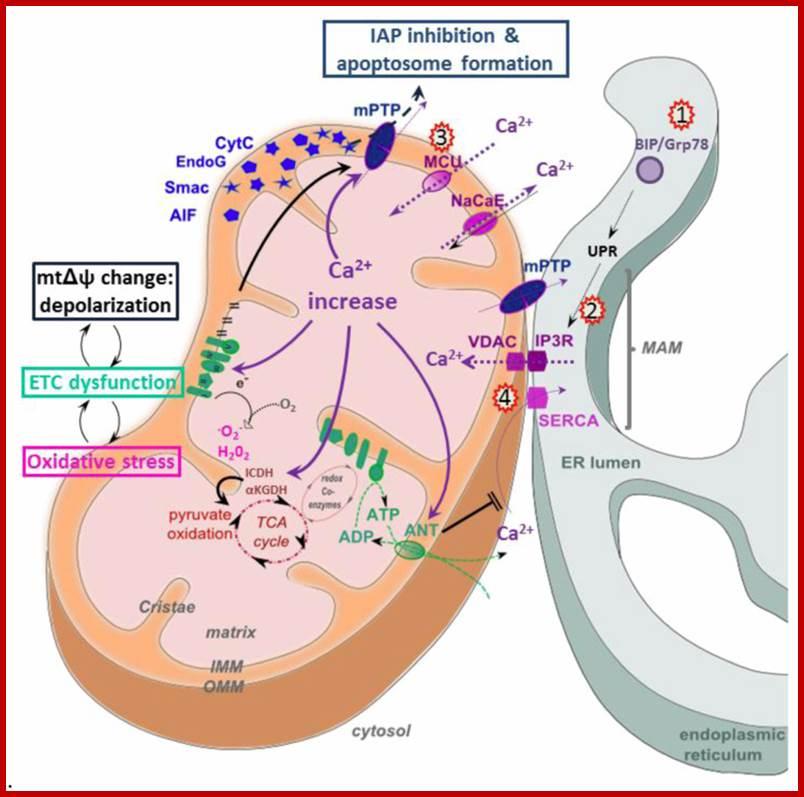 MitochondrialTr...
