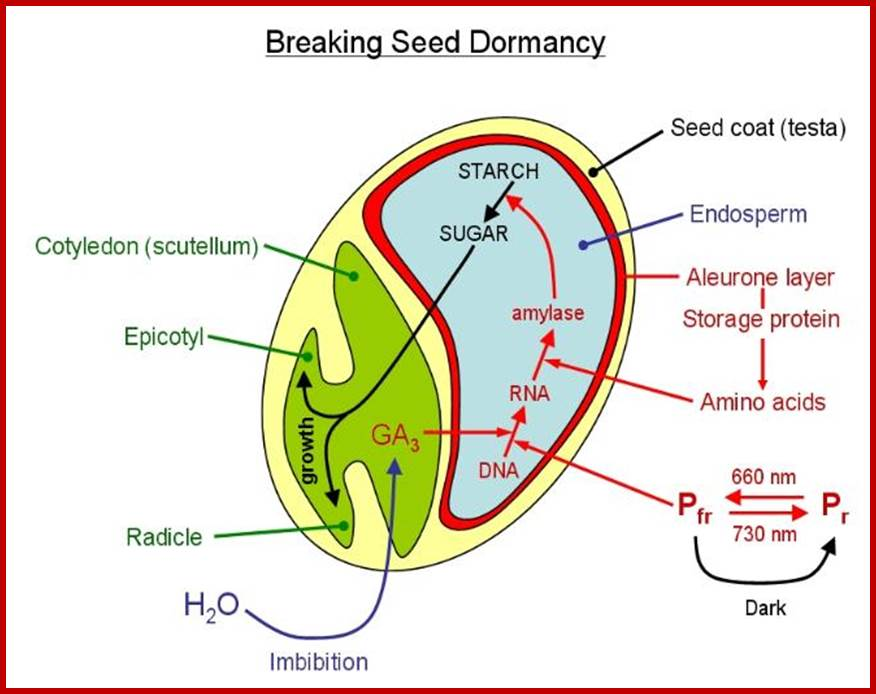 breaking dormancy in seed germination Pak j bot, 44(3): 1037-1040, 2012 effect of some chemical treatments on seed germination and dormancy breaking in an important medicinal plant.