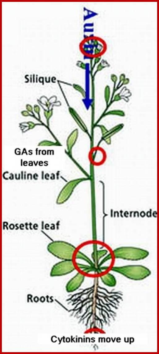 Discoveryof plant hormones