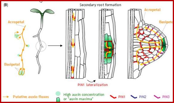 the role of hormones in the growth and development of plants The role of hormones in the aging of plants - a mini-review plants were removed, and vegetative growth, which in monocarpic plants declines when flowering is initiated the role of hormones in developmental senescence of.