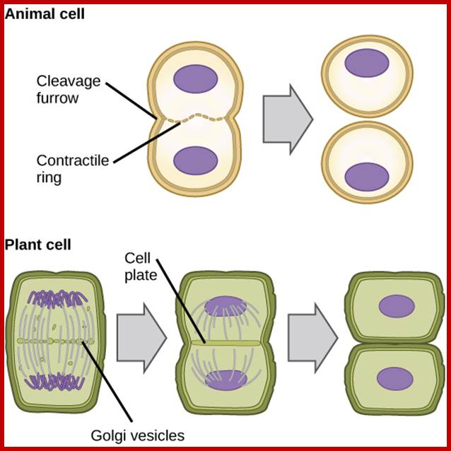 Plant cell division differences between animal and plant cell division cytokinesis httpsboundless ccuart Gallery