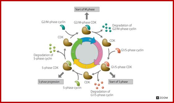 genetics of cell cycle1 introduction