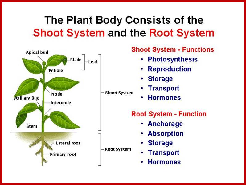 absorption of water by root hairs in plants