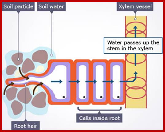 Absorption Of Water